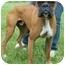 Photo 3 - Boxer Dog for adoption in North Judson, Indiana - Bam Bam