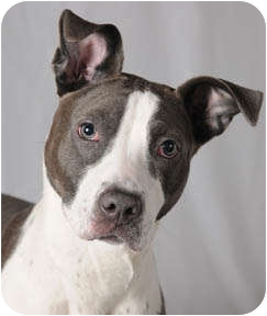American Pit Bull Terrier Puppy for adoption in Chicago, Illinois - Misty