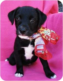 Corgi/Sheltie, Shetland Sheepdog Mix Puppy for adoption in Irvine, California - Fiji