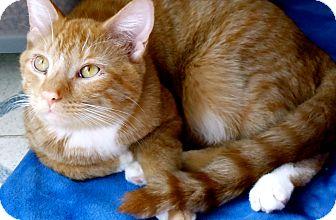 Domestic Shorthair Kitten for adoption in Naples, Florida - White Greig