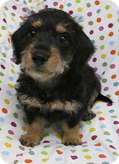 Schnauzer (Miniature)/Yorkie, Yorkshire Terrier Mix Puppy for adoption in Plainfield, Illinois - Sinatra