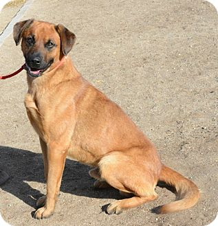 Shepherd (Unknown Type)/Rottweiler Mix Dog for adoption in Gardnerville, Nevada - Jax