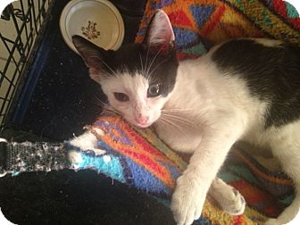 Domestic Shorthair Cat for adoption in Island Park, New York - Patches