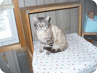 Domestic Shorthair Cat for adoption in Southington, Connecticut - Paisley