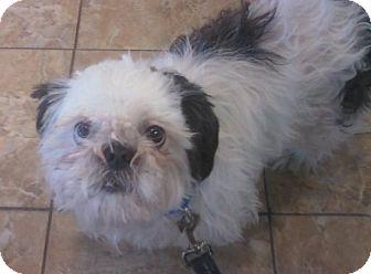 Shih Tzu Dog for adoption in Oak Ridge, New Jersey - Bolt