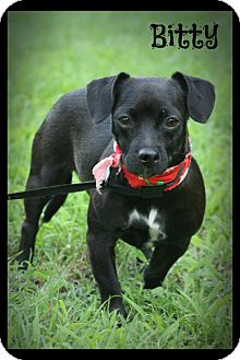 Chihuahua/Rat Terrier Mix Dog for adoption in Glastonbury, Connecticut - Bitty