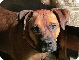 Boxer Mix Dog for adoption in Owatonna, Minnesota - Molly