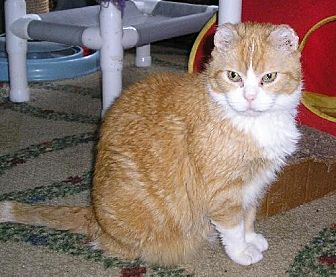 Domestic Shorthair Cat for adoption in Eldora, Iowa - Missy