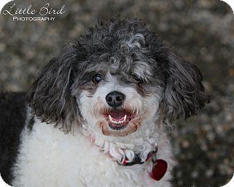 Poodle (Miniature) Dog for adoption in Seattle c/o Kingston 98346/ Washington State, Washington - Chip