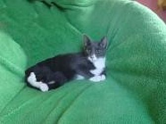 Egyptian Mau Cat for adoption in Sarasota, Florida - Bentley