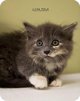 Domestic Longhair Kitten for adoption in Newburgh, Indiana - Smudge