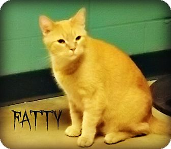 Domestic Shorthair Cat for adoption in Defiance, Ohio - Fatty