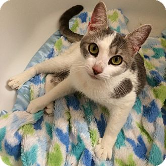 Domestic Shorthair Cat for adoption in Tampa, Florida - Audrey