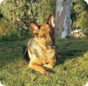 German Shepherd Dog Dog for adoption in Laguna Niguel, California - Jami