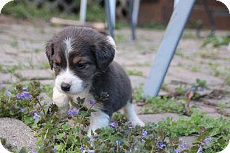 Australian Shepherd/Dachshund Mix Puppy for adoption in Livonia, Michigan - G litter-Martin-ADOPTED