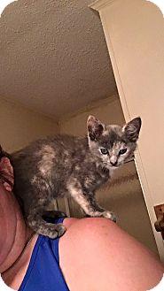 Domestic Shorthair Kitten for adoption in Garner, North Carolina - Ruby