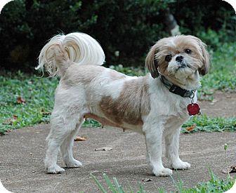 Shih Tzu Dog for adoption in Lawrenceville, Georgia - Lucy