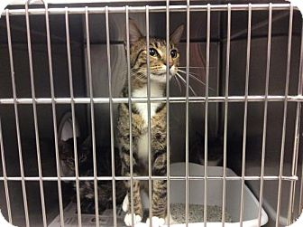 Domestic Shorthair Cat for adoption in Janesville, Wisconsin - June