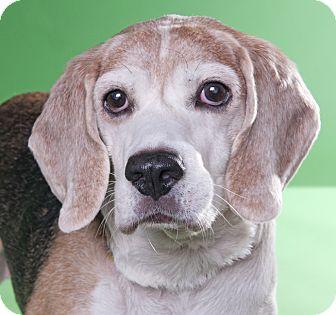 Beagle Dog for adoption in Chicago, Illinois - Charles