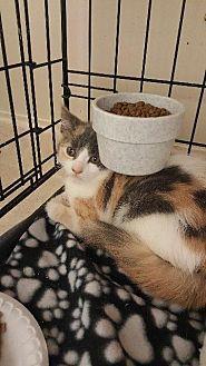 Calico Kitten for adoption in Houston, Texas - CARYS
