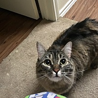 Domestic Mediumhair Cat for adoption in San Antonio, Texas - Muffin