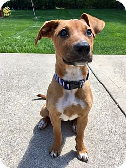 Hound (Unknown Type) Mix Puppy for adoption in Columbus, Ohio - Poppy