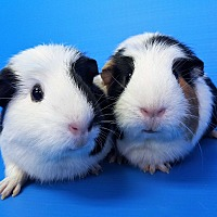 Guinea Pig for adoption in Lewisville, Texas - Alphys and Undyne
