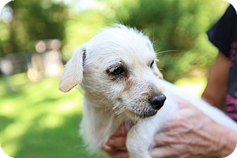 Chihuahua/Westie, West Highland White Terrier Mix Puppy for adoption in Allentown, Pennsylvania - Dale