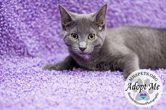 American Shorthair Cat for adoption in Lake City, Michigan - 2434