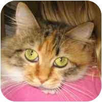 Domestic Longhair Cat for adoption in Coleraine, Minnesota - Fluffy