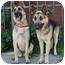 Photo 4 - German Shepherd Dog Dog for adoption in Los Angeles, California - Eli von Elsberg
