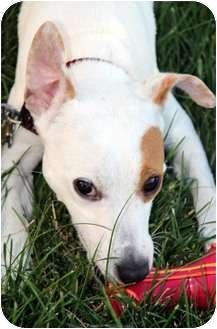 Jack Russell Terrier Mix Dog for adoption in Overland Park, Kansas - Spot