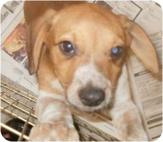 Beagle/Hound (Unknown Type) Mix Puppy for adoption in Freeport, Maine - Emma's Puppies
