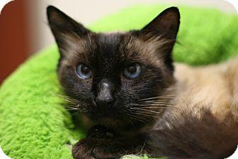 Ragdoll Cat for adoption in Coronado, California - Simon