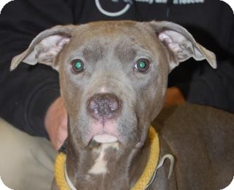Terrier (Unknown Type, Medium)/Pit Bull Terrier Mix Dog for adoption in Brooklyn, New York - Archedes