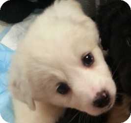 Labrador Retriever/Collie Mix Puppy for adoption in Orland Park, Illinois - Godiva