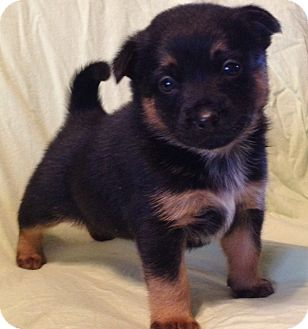 Australian Shepherd Mix Puppy for adoption in Brattleboro, Vermont - RUTH