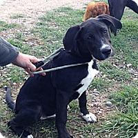Adopt A Pet :: BART - Broomfield, CO