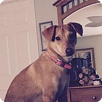 Adopt A Pet :: Spectacular Spice - Madison, NJ