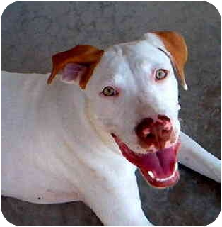 American Staffordshire Terrier Mix Dog for adoption in Scottsdale, Arizona - Chuy