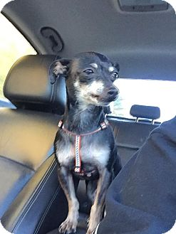 Miniature Pinscher Dog for adoption in Groton, Connecticut - Huey