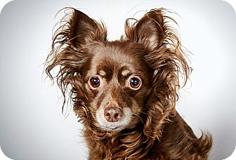 Chihuahua Dog for adoption in New York, New York - Giselle