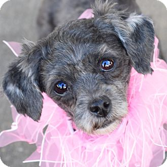 Poodle (Toy or Tea Cup) Mix Dog for adoption in Glastonbury, Connecticut - Patty
