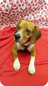 Beagle Mix Dog for adoption in Bryson City, North Carolina - Wendell