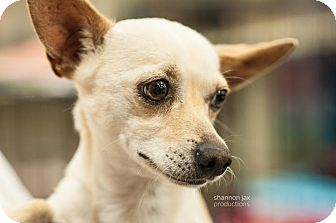Chihuahua Mix Dog for adoption in Gainesville, Florida - Dot