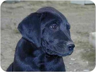 Rottweiler/Retriever (Unknown Type) Mix Dog for adoption in Roundup, Montana - Payton