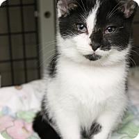 Adopt A Pet :: McMuffin - Medina, OH