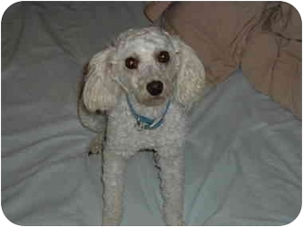 Poodle (Toy or Tea Cup) Dog for adoption in Melbourne, Florida - ALFRED