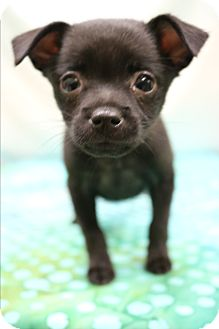 Miniature Pinscher Mix Puppy for adoption in Bedminster, New Jersey - Gypsy