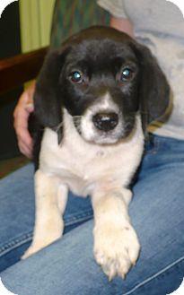 Beagle/Labrador Retriever Mix Puppy for adoption in Eastpoint, Florida - Finn